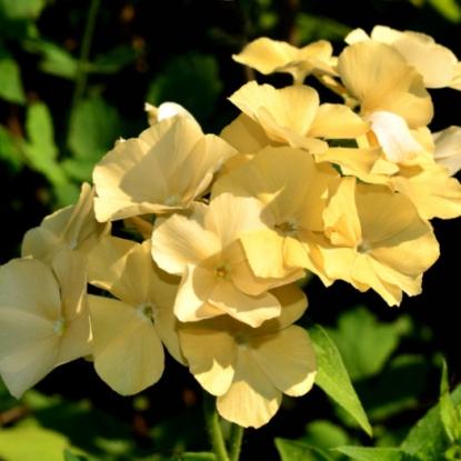Флокс Очарование желтое, друммонда