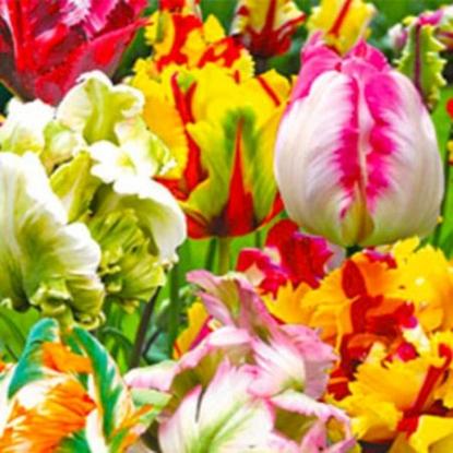 Тюльпаны попугайные, смесь