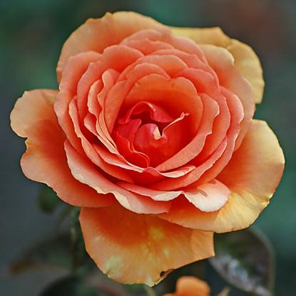 Роза Ашрам TANTAU