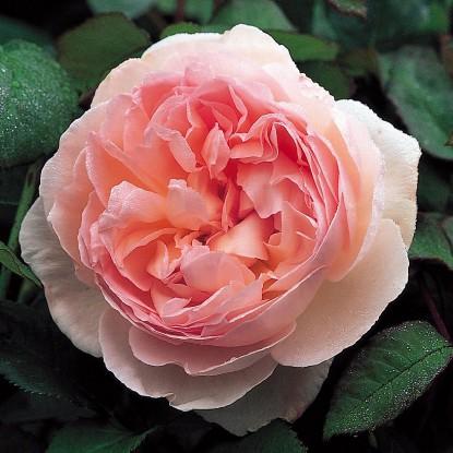Роза Шарифа Асма