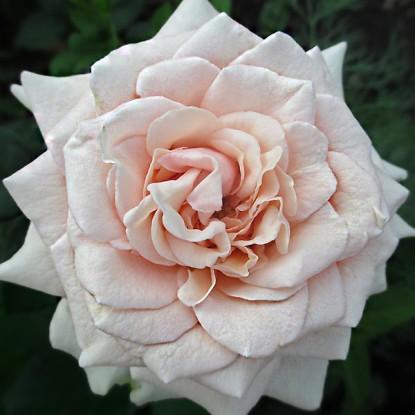 Роза Лакре штамбовая