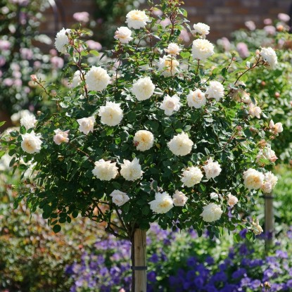 Роза Крокус Роуз штамбовая