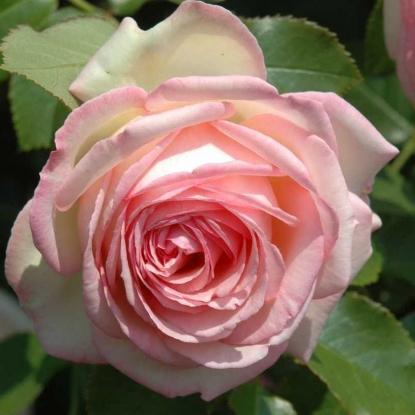 Роза Эден Роуз