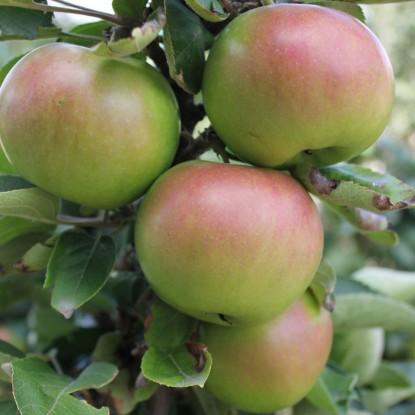 Яблоня Икша (узкопирамидальная)