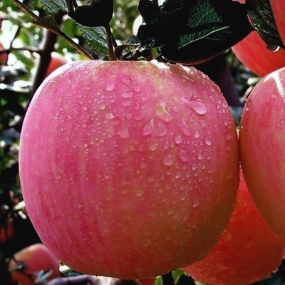 Яблоня Розовый налив, двухлетняя