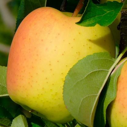 Яблоня осенняя Ананасное