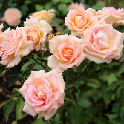 Роза штамбовая Мэрилин Монро