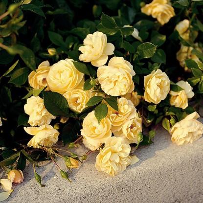 Роза штамбовая Зоннеширм