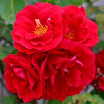 Роза Фламментанц