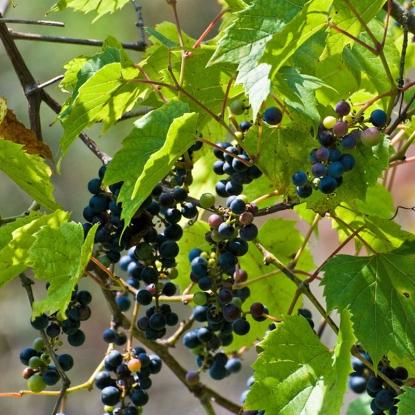 Виноград прибрежный