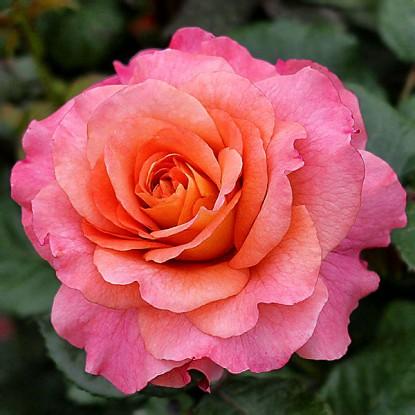 Роза Августа Луиза