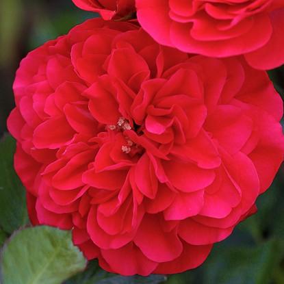 Роза Меркури 2000 штамбовая