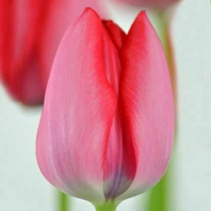 Тюльпан Трик