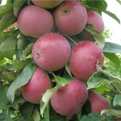 Яблоня Червонец (узкопирамидальная)