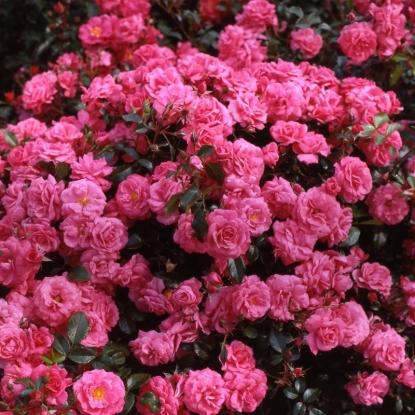 Роза Бэд Бирнбах
