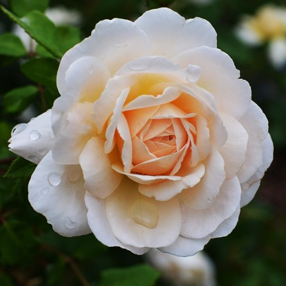 Роза штамбовая Крокус Роуз