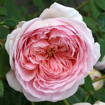 Роза штамбовая Херитейдж