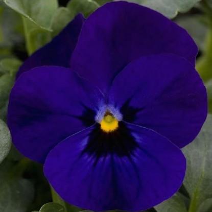 Виола Эрфурт Гигант голубой с глазком