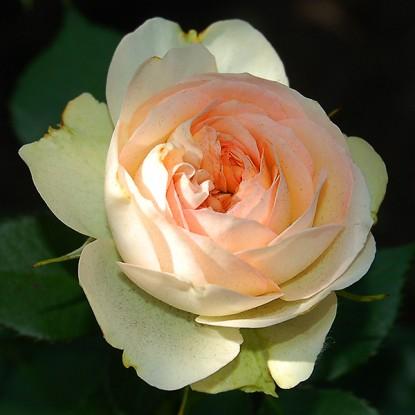 Роза Пастелла TANTAU
