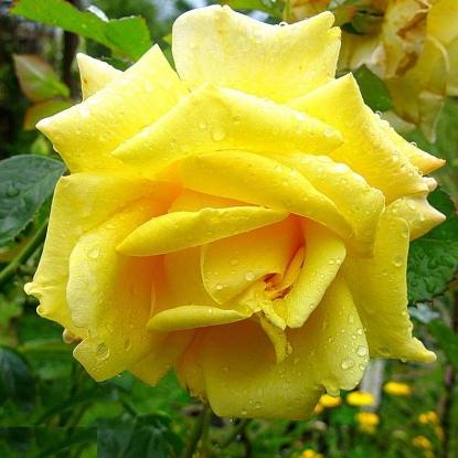 Роза Беролина