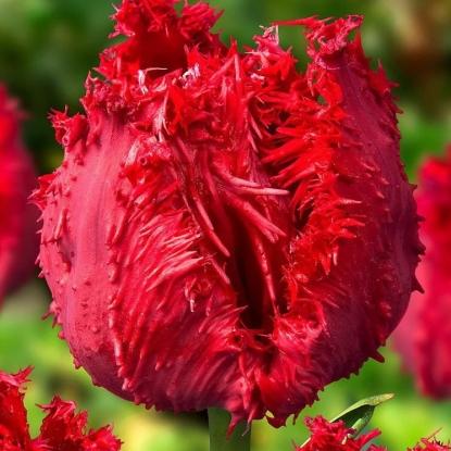 Тюльпан Барбадос