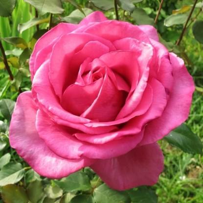 Роза Пароль