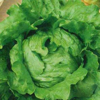 Салат Колобок кочанный, хрустящий, зеленый