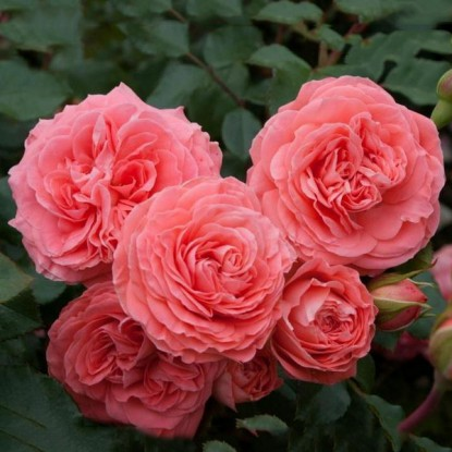 Роза Шакенборг штамбовая