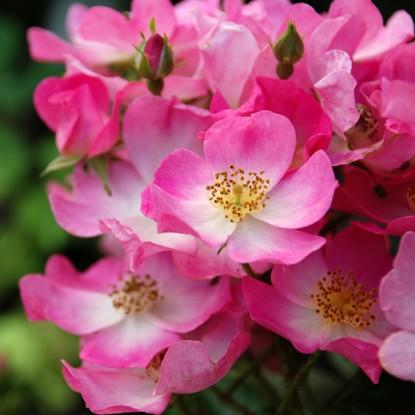 Роза Балерина штамбовая