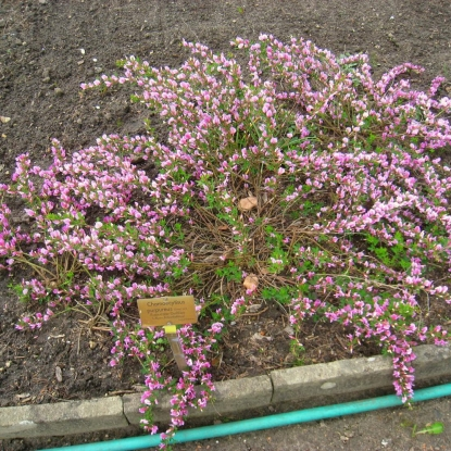 Ракитник пурпурный