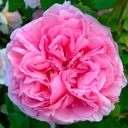 Роза Комт де Шабор