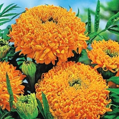 Бархатцы пр. Фантастика, оранжевая