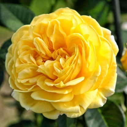 Роза Инка TANTAU