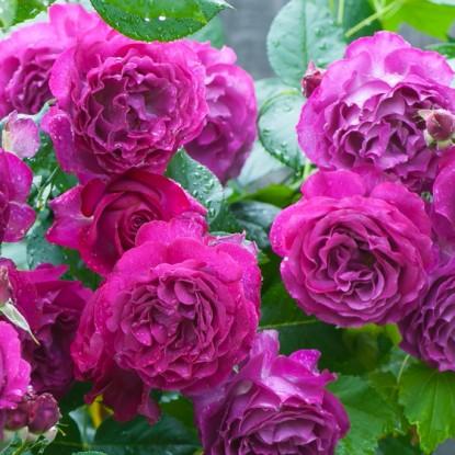 Роза Блю Эден