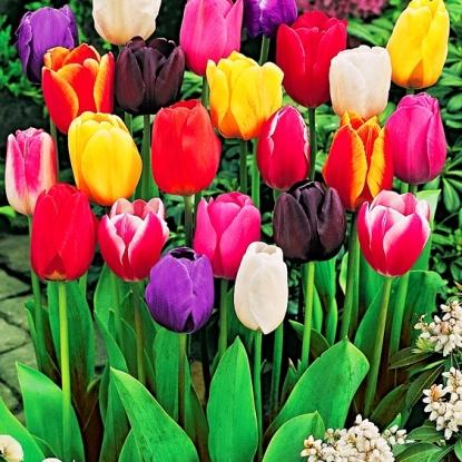 Тюльпаны Простые, смесь