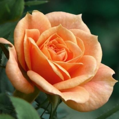 Роза Эприкот Клементин