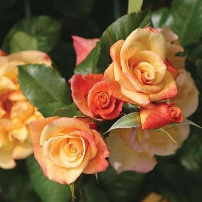 Роза Мунлайт
