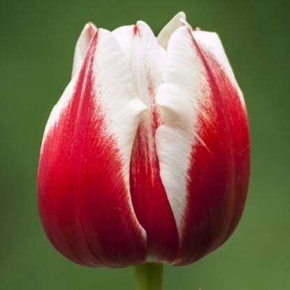 Тюльпан Хоризон