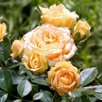 Роза Свит Меморис