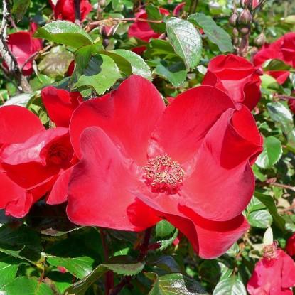 Роза Робуста