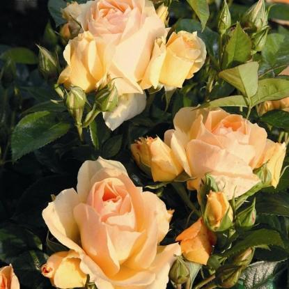 Роза Хансештадт Росток