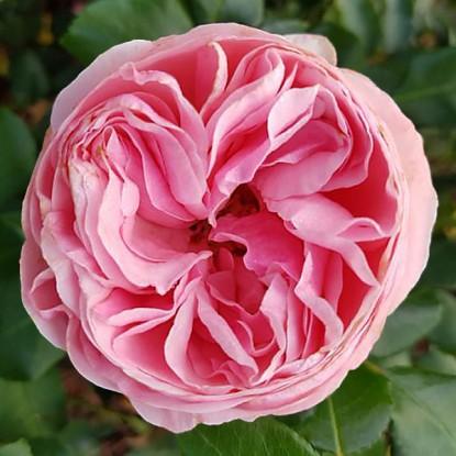 Роза Джиардина
