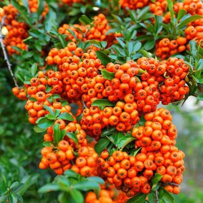 пираканта оранж глоу