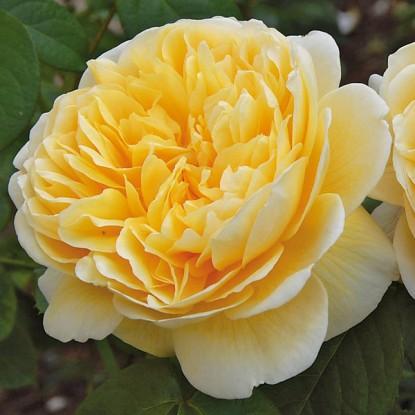 Роза штамбовая Шарлотта
