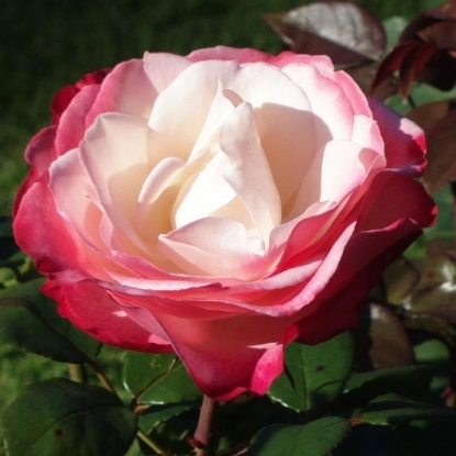 Роза Ностальгия