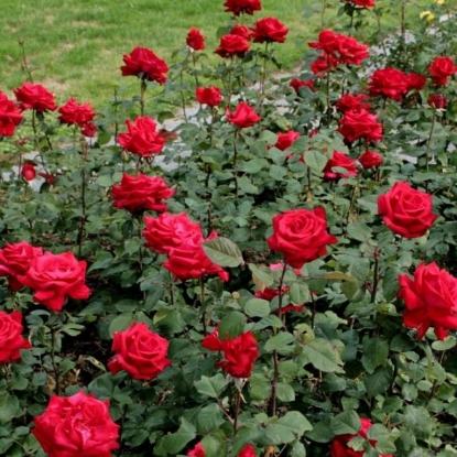 Роза Гранд Аморе