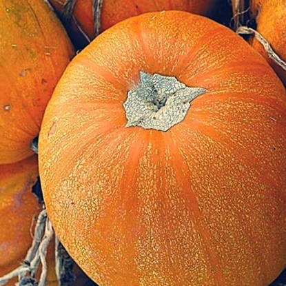Тыква Кустовая оранжевая