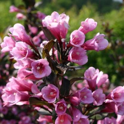 Вейгела Фоллис Пурпуреус цветущая