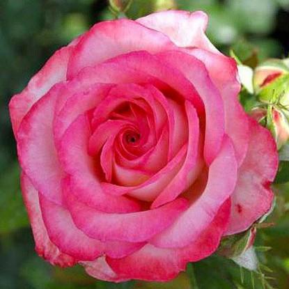 Роза Изабель Обре