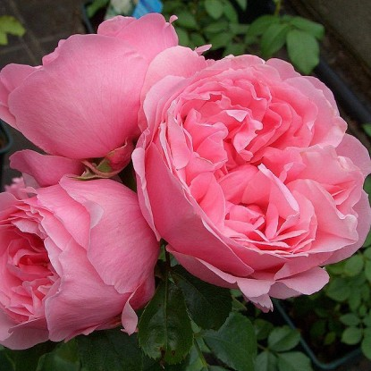 Роза штамбовая Комтесс де Сегюр